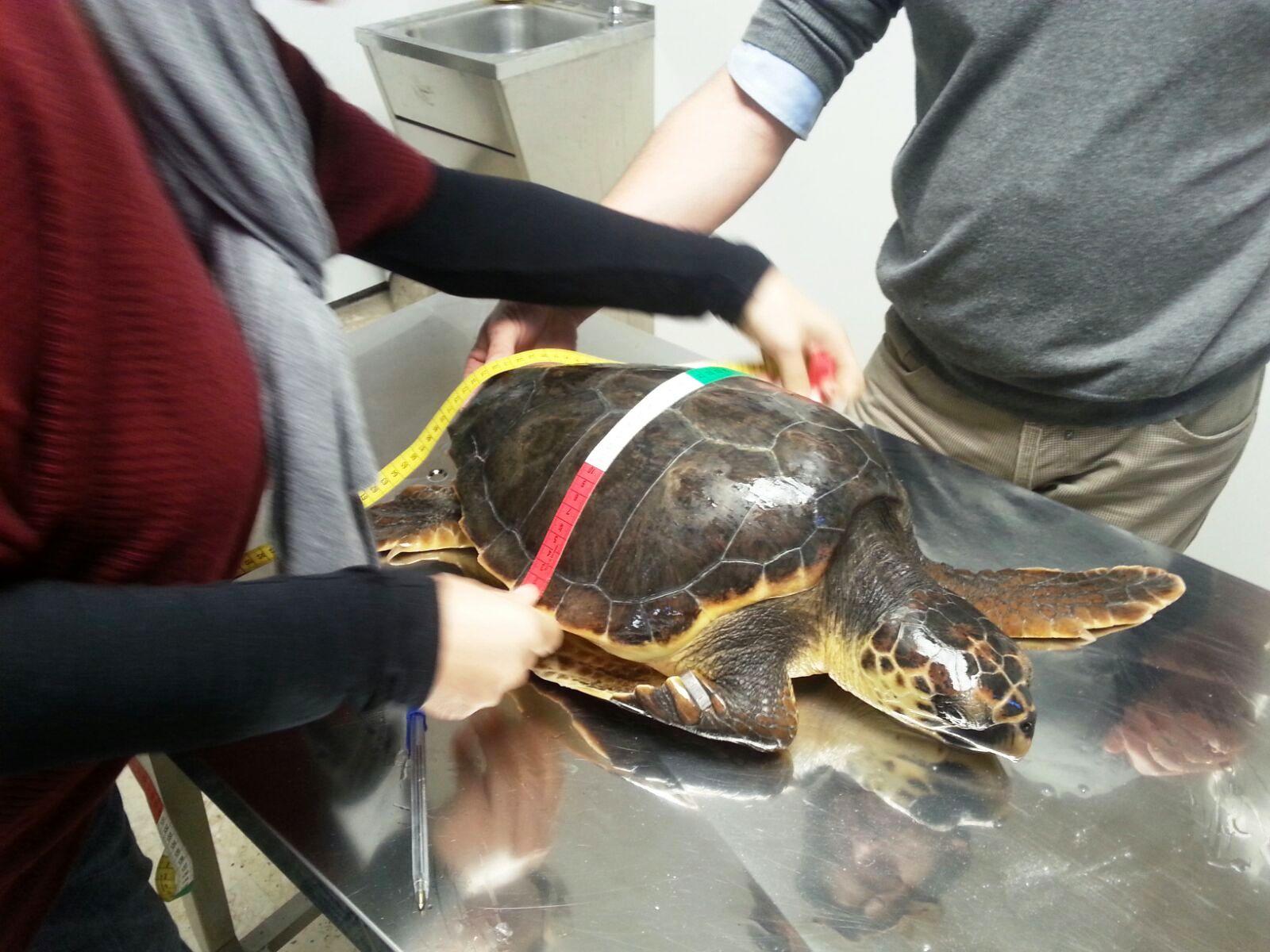 Favignana,  rilasciata in mare la prima tartaruga marina Caretta caretta ospite  dell'Area Marina Protetta